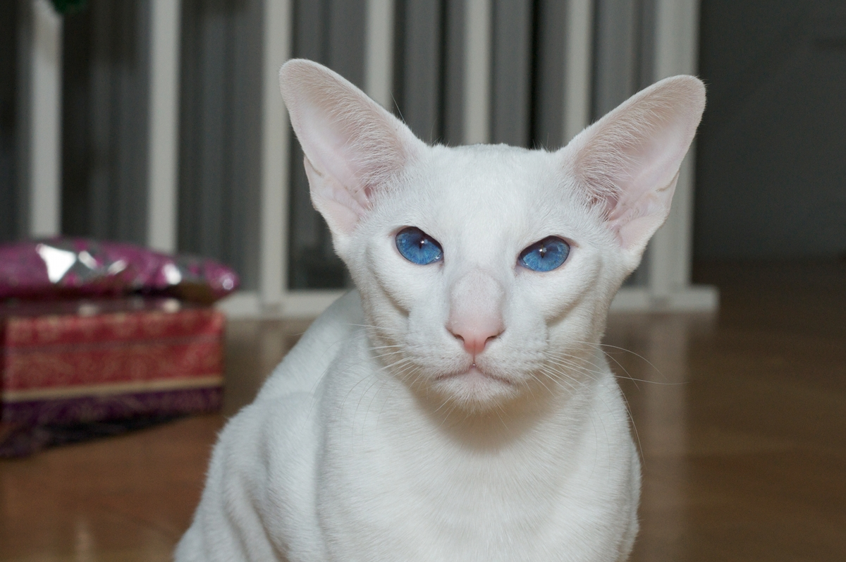 Foreign White young cat